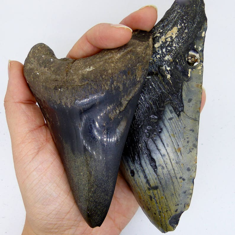 Sand Tiger Shark Tooth Pendant Fossil Sustainable Jurassic Silver Ethical Necklace Ancient Sharks FREE WORLDWIDE DELIVERY 8058