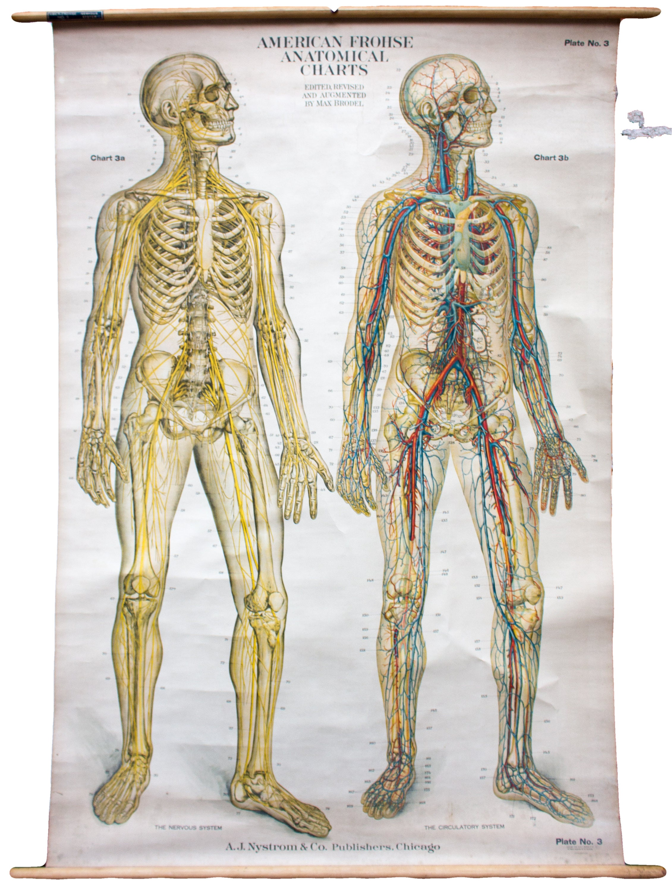 American Frohse Anatomical Wall Chart Nystrom Chicago 1918