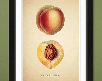 Peach – 1907 – USDA Pomological Watercolor Collection (12x18 Heavyweight Art Print)