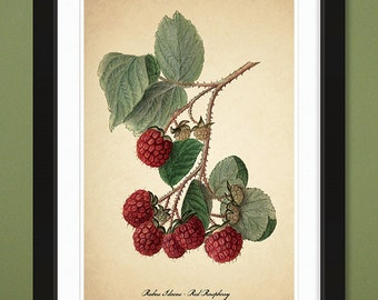 Red Raspberry — 1906 – USDA Pomological Watercolor Collection (12x18 Heavyweight Art Print)