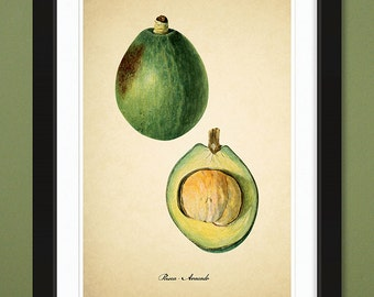 Avocado – 1906 – USDA Pomological Watercolor Collection (12x18 Heavyweight Art Print)