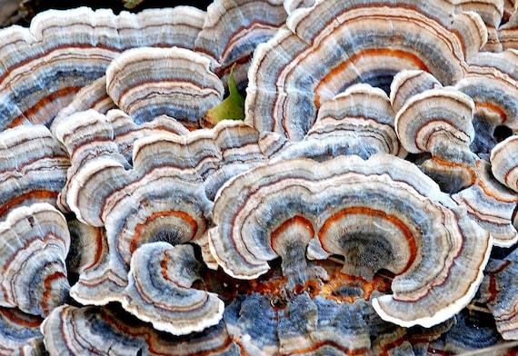 Turkey Tail Medicinal Mushroom Tincture Trametes versicolor | Etsy