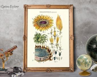 Sunflower Kitchen, Sunflower Art Poster, Old Botanical Print, Sunflower Home Decor, Old Sunflower Print, Mother Gift Decor - E14s8