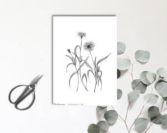 Centaurea - Carte postale illustrée - Dessin à la main - tirage numéroté et limité - monocotylédone
