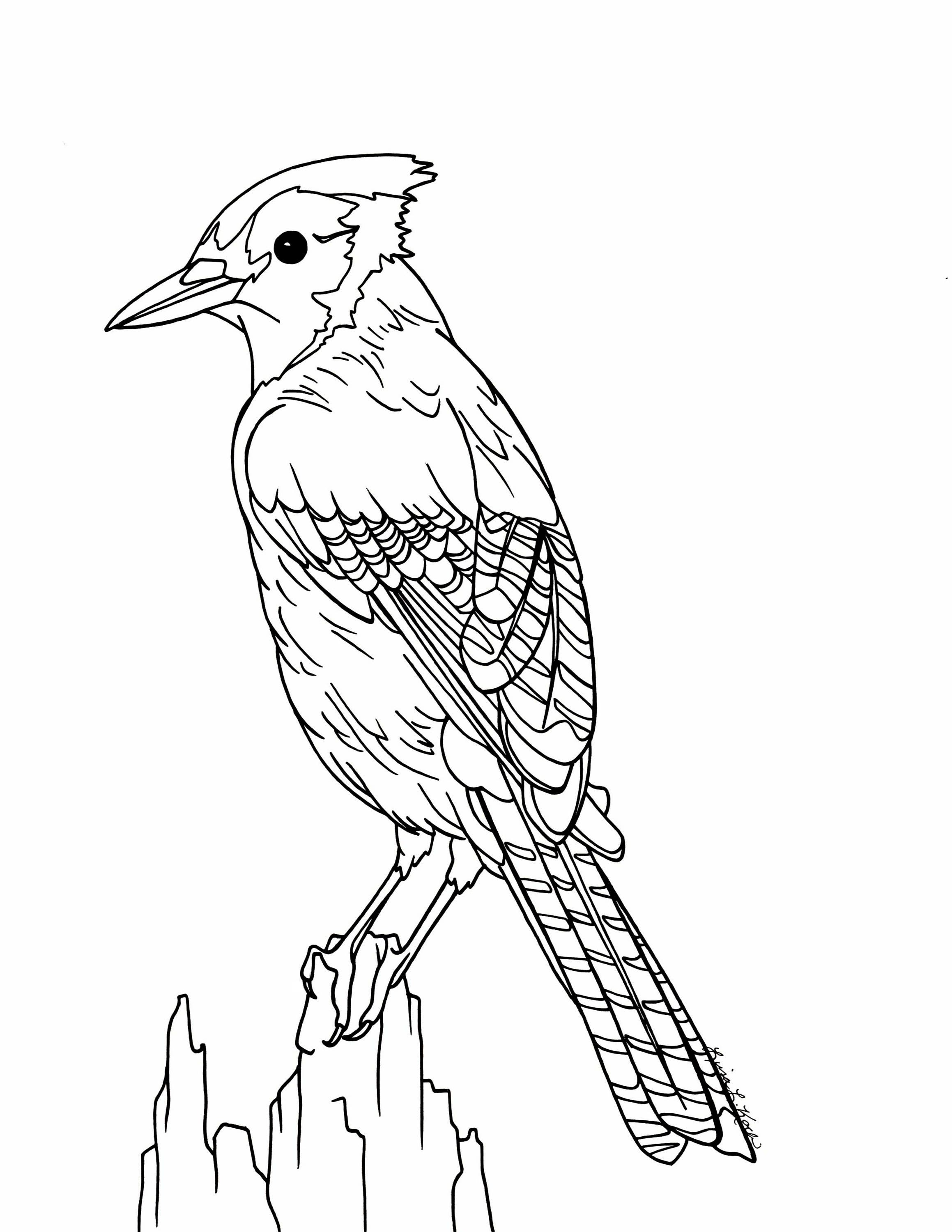 bluejay coloring pages - photo#20