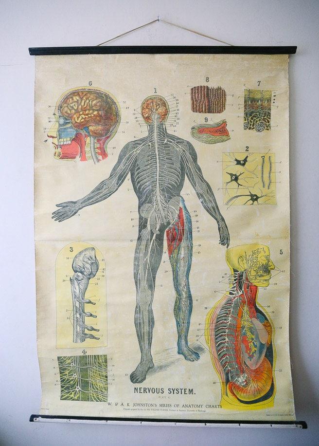 Original Anatomical Vintage British Educational School Wall Chart