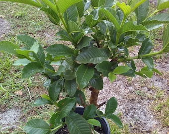 Guava plant/Guava tree Buy 1 Get 1 FREE- Each plant 2 feet tall or more :  Plants look similar but not exactly as shown in picture.