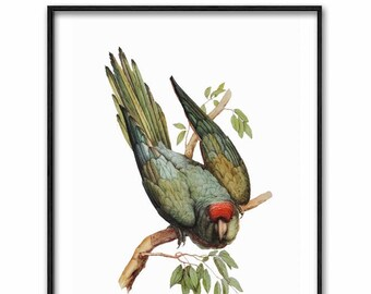 Parakeet Art Printable, Budgie Print (Digital Download Vintage Bird Wall Decor, Green Parrot) 19th Century Artist