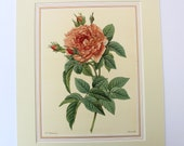 Image of LARGE 1938 ROSE Genuine Antique Colour Plate by Redoute Coloured Vintage Original Print Roses Botanical Botany Floral Flora Pink Roses