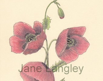 Poppies : A4 print of my original artwork