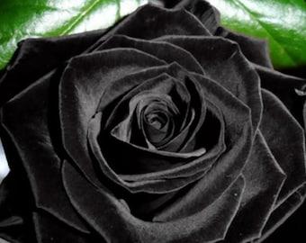 30 Black Rose Hybrid, Rare Rose Seeds, Fresh Exotic Dark Rose, Flower Seeds,Perennial,Growing Roses from Seeds,Planting Rose
