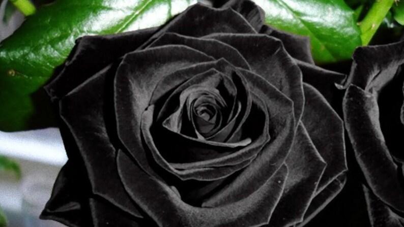 30 Black Rose Hybrid Rare Rose Seeds Fresh Exotic Dark Rose image 0