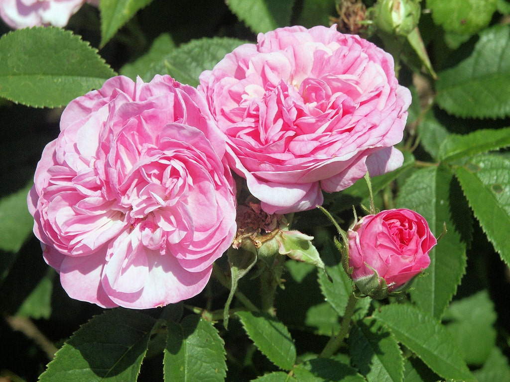 30 Rose Damascena Hybrid Rare Rose Seeds Fresh Exotic Pink   Etsy