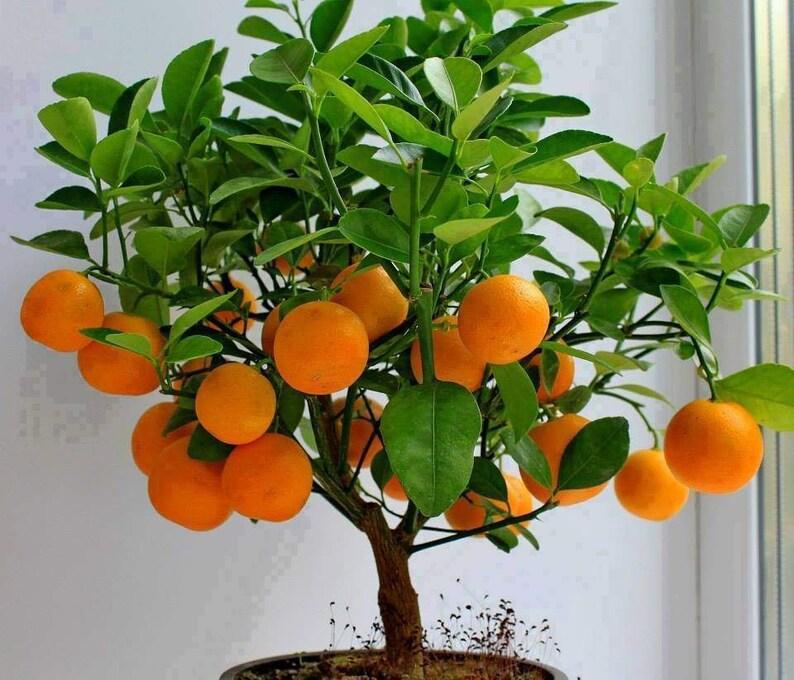 15 Edible Fruit Orange Tree Seeds Bonsai Citrus Orange Tree image 0