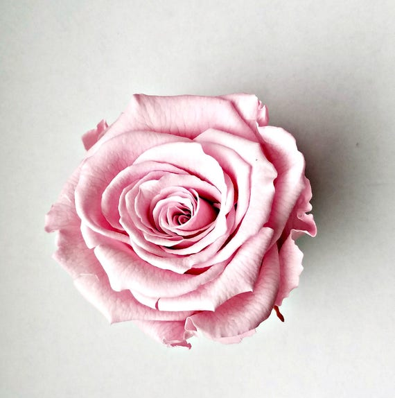 Pink preserved roses Large 25.00 and free shipping