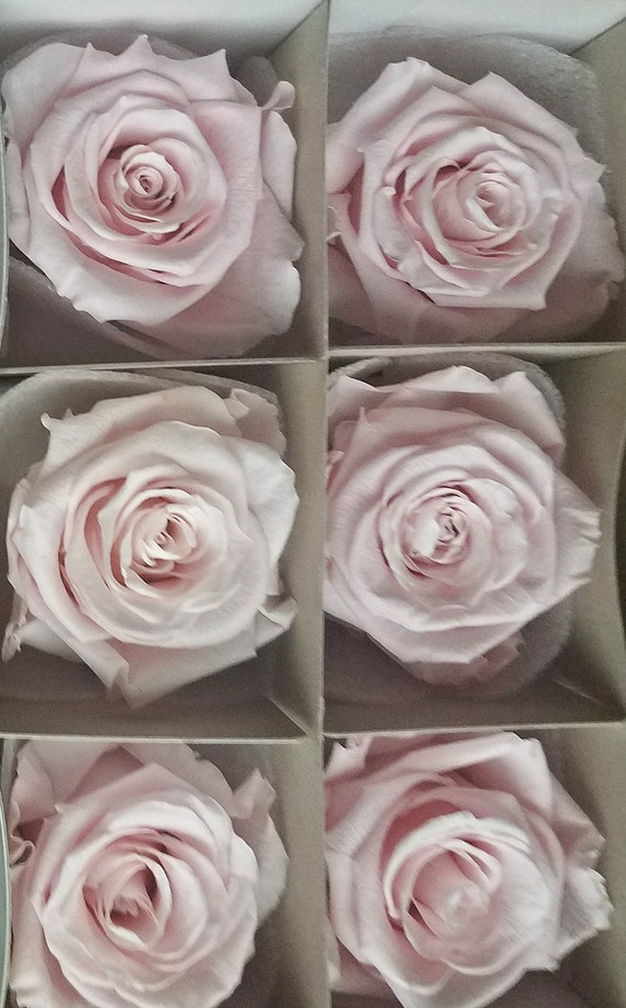 Pale pink Ecuadorian preserved roses