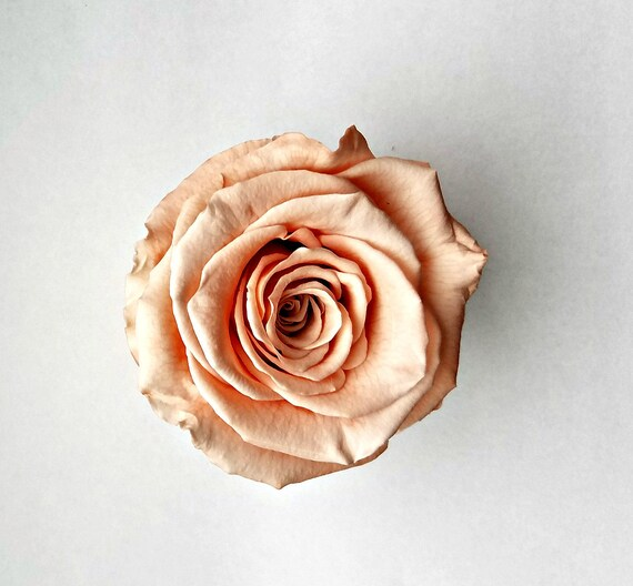 Preserved peach rose 6 pack, X-large 30.00 and free shipping