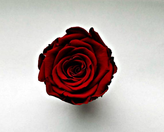 Burgundy preserved roses large 25.00 free shipping