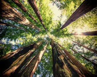 Nature Lover Gift ~ Mindfulness Gift ~ Redwood Tree ~ California Redwoods ~ Redwood Forest