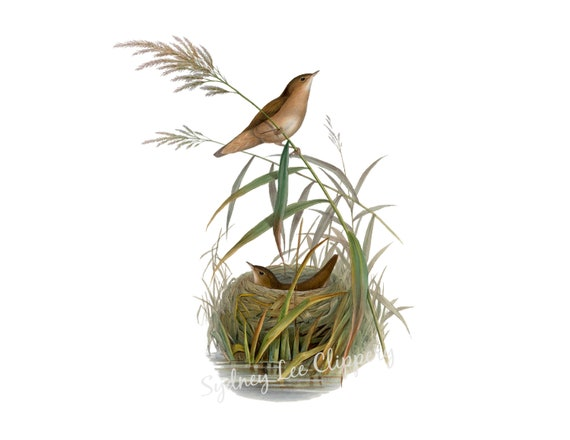 Birds In The Reeds Vintage Bird Clipart Printable Jpg Etsy