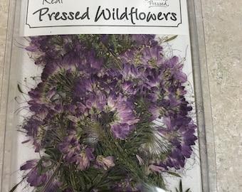 Purple Beesplant  12 flowers