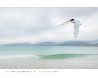Arctic Tern over Luskentyre
