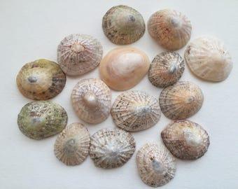 15 large limpet shells