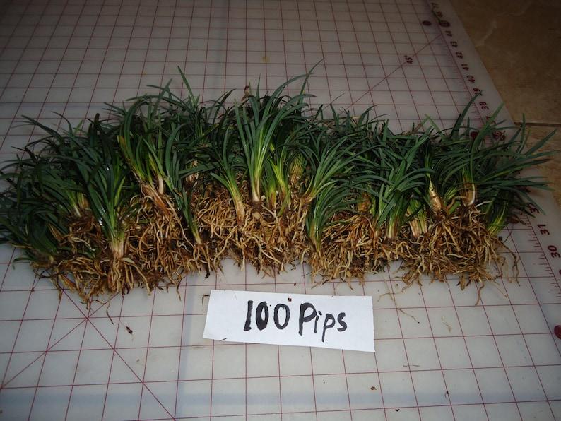 rock garden ground cover evergreen grass! 100 pips Dwarf Mondo grass border