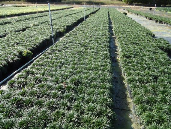 Zwerg Mondo Gras 150 Zacken Bodendecker Grenze   Etsy
