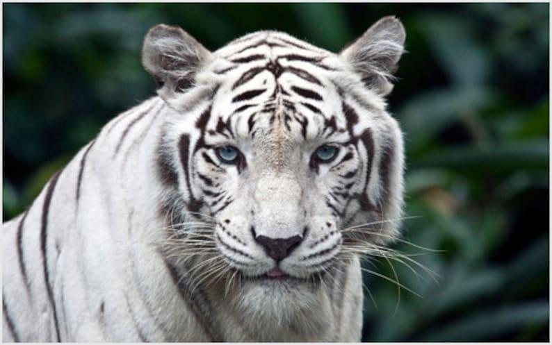 Naturaleza Cartel Tigre Blanco Rayas Verde Azulado Ojos Etsy