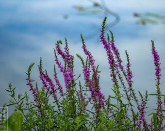 Lavender Wildflower Photo Prints