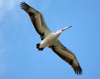 Pelican Flying Free
