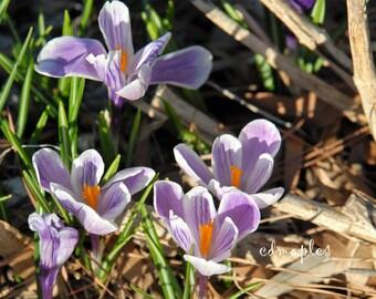 Crocus Flower Photo, Flower Photography, Spring Flower Photo,  Plant Photo