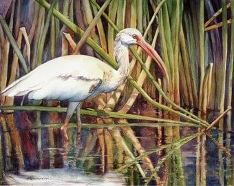 white ibis, wading bird, marsh bird, watercolor art print