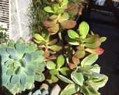 Succulent Assortment 4 Plant Arrangement Sedeveria, Jade 7 quot Tall 7 quot Wide Rooted You will receive the plants from the pictures 8Y