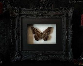 Framed Black Witch Moth (Rare)