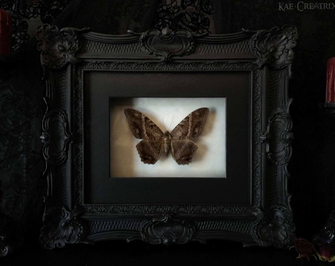 Framed Black Witch Moth (Rare)
