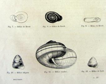 1860 antique SHELLS  print, vintage saeshells engraving, gastropod mollusk shell sea life illustration, oddity land mollusc snail clam.