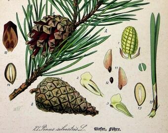 Tree color lithograph, Scots pine print, botanical conifers conos engraving, 1886 pinus silvestris flowers plants home decor wall decor.