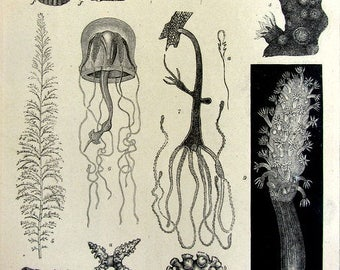1904 engraving of Cnidaria , antique marine sea life print, curiosity oddity zoology  Jellyfish coral COLENTERATEN .