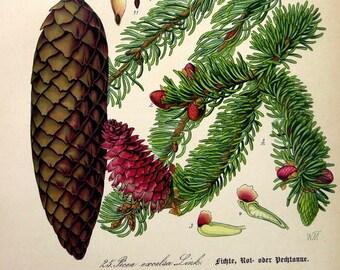 Tree colour engraving, original common spruce print, botanical conifers conos color lithograph, 1886 flowers plants home decor wall decor.