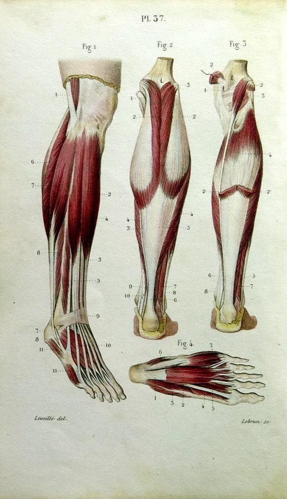 1852 Vintage Anatomie Muskeln Farbe drucken antike Front und | Etsy