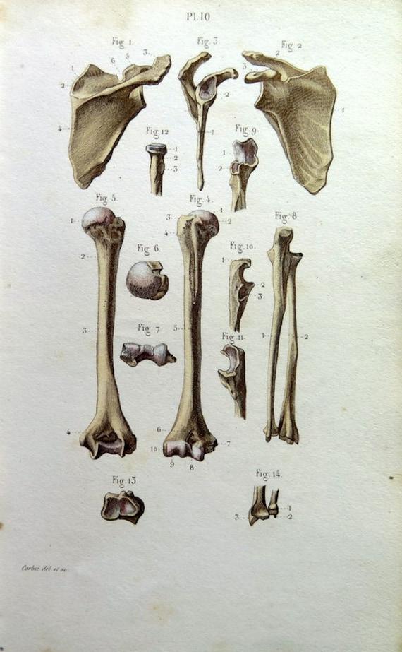 1852 original antiken Anatomie Knochen Farblithographie