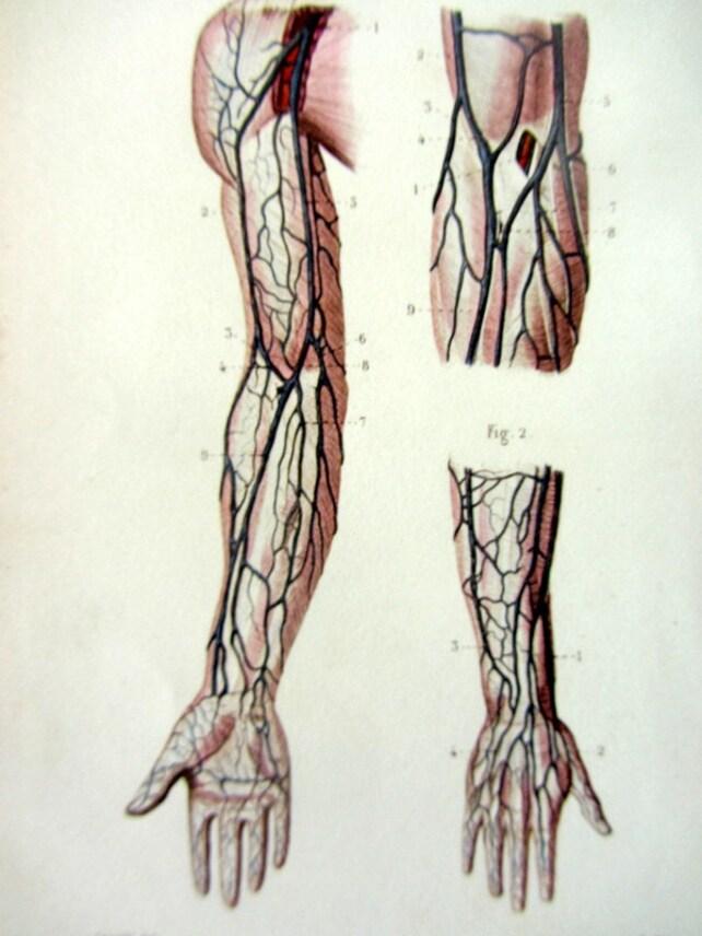 Anatomía antigua 1852 imprimir venas del antebrazo y la mano | Etsy