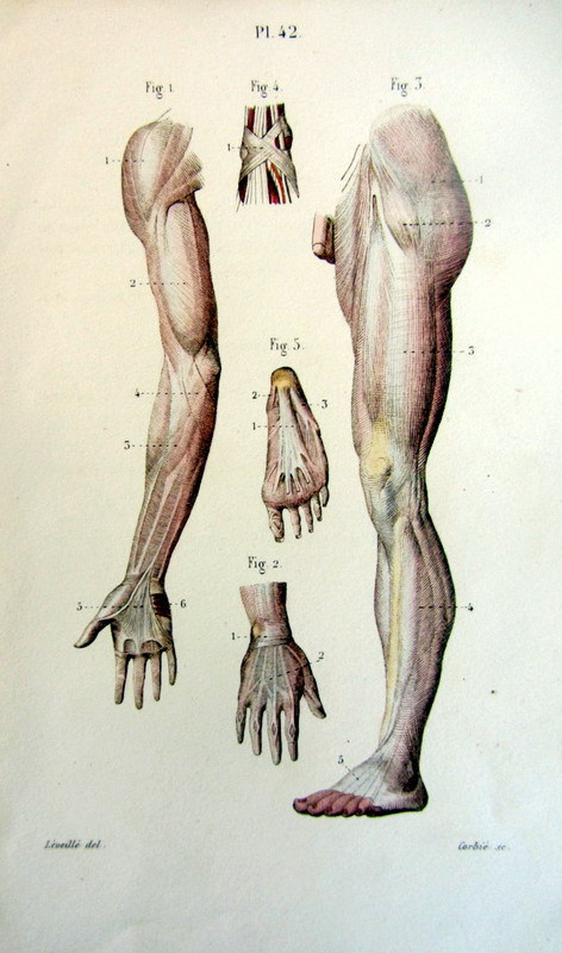 1852 Antique Anatomy Tendons Engraving Vintage Muscles Color Etsy
