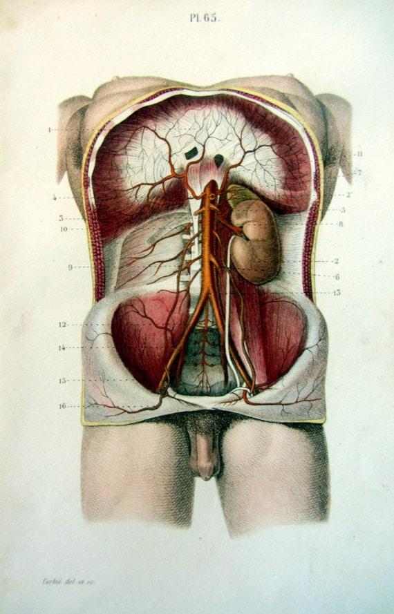 1852 Vintage menschlichen Bauch Anatomie Druck original