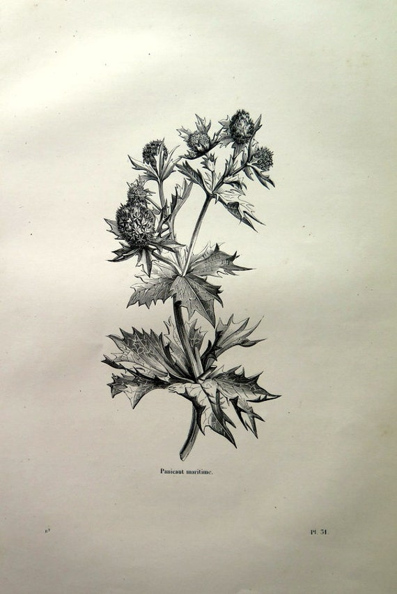 1860 antique sea holly flower engraving original vintage etsy