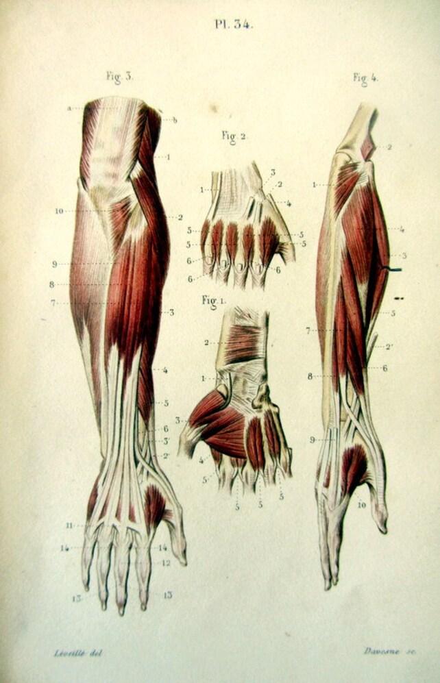 Anatomía antigua 1852 color litografía impresión músculos | Etsy
