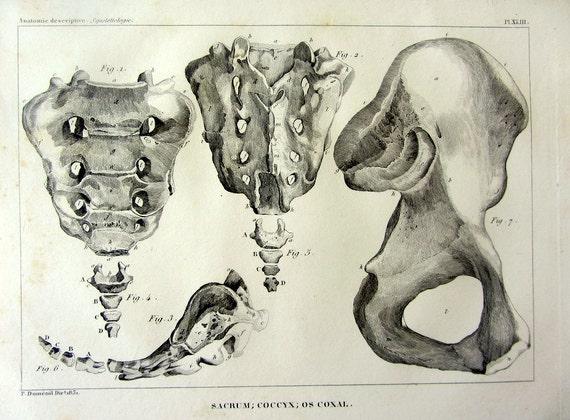 KREUZBEIN STEIßBEIN COXAL Knochen Gravur 1831 Curiuos   Etsy