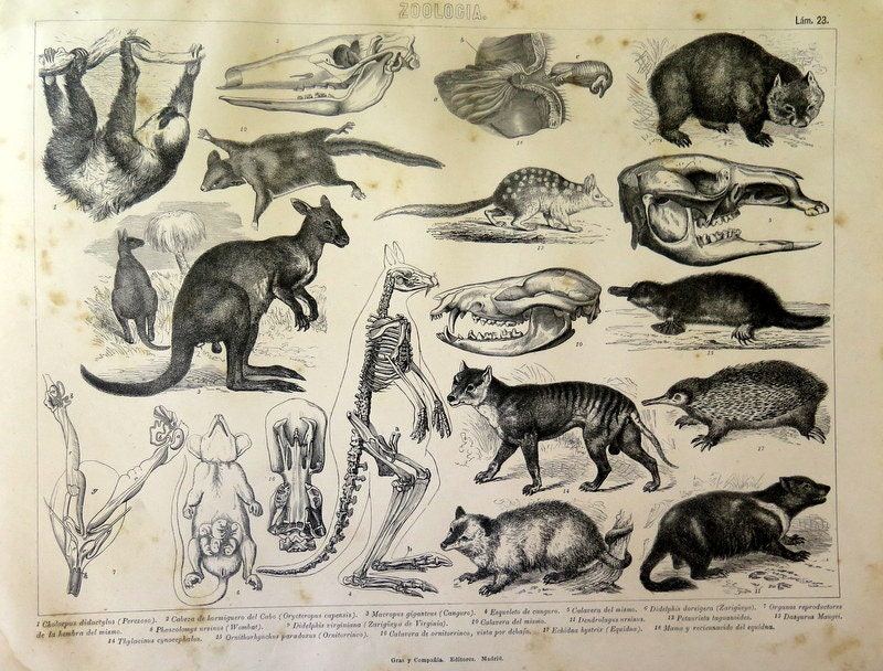 1859 Antique engraving of Marsupials, vintage animals of australian print,  kangaroo, koala, wobat, tasmanian devil, platypus home decor
